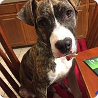 Adopt A Pet :: Garfunkel - Northeast, OH