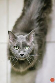 Domestic Longhair Cat for adoption in Pueblo, Colorado - Vampire (Vlad)