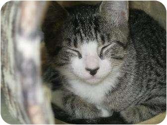 Domestic Shorthair Cat for adoption in Manning, South Carolina - Carolina