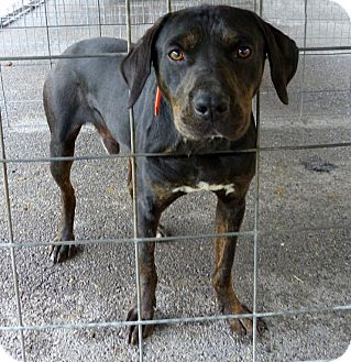Mountain Cur/Bluetick Coonhound Mix Dog for adoption in Marlinton, West Virginia - Pablo--RESCUED!
