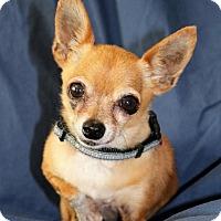 Adopt A Pet :: Petunia - Sacramento, CA