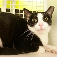 Domestic Mediumhair Cat for adoption in St. Cloud, Florida - Rose