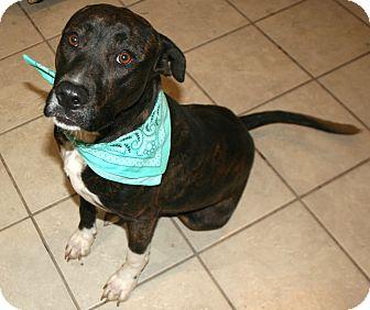 Boxer/Labrador Retriever Mix Dog for adoption in Pilot Point, Texas - Tigga