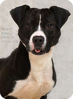 Pointer/Pit Bull Terrier Mix Dog for adoption in Newnan City, Georgia - Beverly