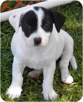 Jack Russell Terrier/Spaniel (Unknown Type) Mix Puppy for adoption in Phoenix, Arizona - OLAF