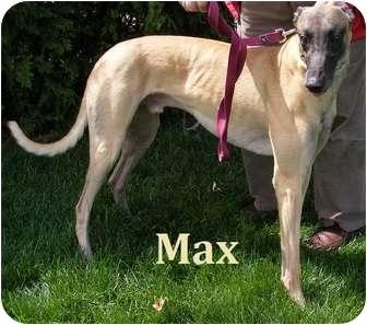 Greyhound Dog for adoption in Fremont, Ohio - Max