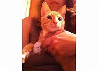 Domestic Shorthair Cat for adoption in Kirkwood, Delaware - Milo