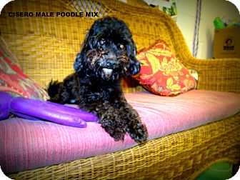 Poodle (Miniature) Dog for adoption in Gadsden, Alabama - cisero