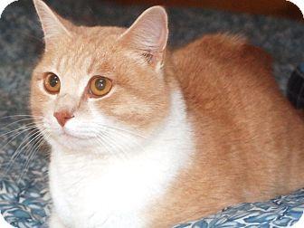 Domestic Shorthair Cat for adoption in Sanford, Maine - Orange