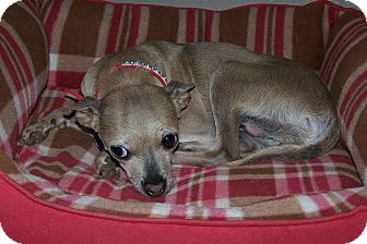Chihuahua Dog for adoption in San Angelo, Texas - Pearl ~ Sadie's Rescue