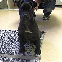 Adopt A Pet :: Spiff (!Urgent!) - Brattleboro, VT
