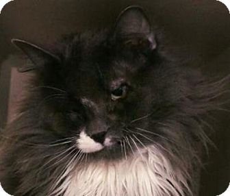 Domestic Longhair Cat for adoption in Denver, Colorado - 10th Avenue