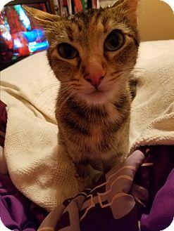 Domestic Shorthair Cat for adoption in Marietta, Georgia - Lessie