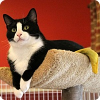 Adopt A Pet :: Shadow - Gaithersburg, MD