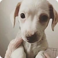 Adopt A Pet :: Chai Latte - Pompton Lakes, NJ