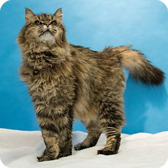 Domestic Longhair Cat for adoption in Houston, Texas - M