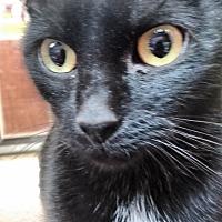 Domestic Shorthair Cat for adoption in Morganton, North Carolina - Lockett