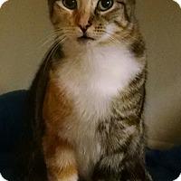 Calico Cat for adoption in Garden City, Michigan - Blossom