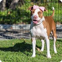 Adopt A Pet :: Honey - Long Beach, CA