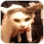 Photo 4 - Domestic Shorthair Cat for adoption in Annapolis, Maryland - Harmony