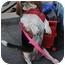 Photo 3 - Basset Hound Dog for adoption in Phoenix, Arizona - Tess
