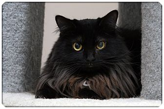 Domestic Mediumhair Cat for adoption in Sterling Heights, Michigan - Voltron - ADOPTED!