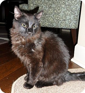 Domestic Longhair Cat for adoption in Bentonville, Arkansas - Berlioz