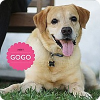 Adopt A Pet :: GoGo - Temple City, CA