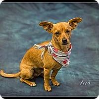Adopt A Pet :: Ava - Wickenburg, AZ