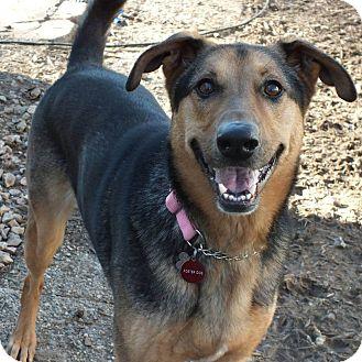 Shepherd (Unknown Type)/Collie Mix Dog for adoption in Minneapolis, Minnesota - Ziva