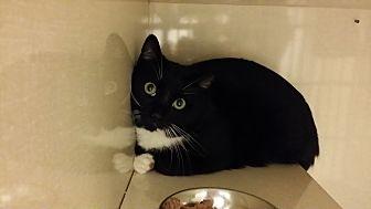 Domestic Shorthair Kitten for adoption in Westbury, New York - Ink