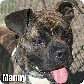 Boxer Dog for adoption in Encino, California - Manny