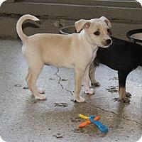Adopt A Pet :: Bambi - Puppy - Coming Soon - Dallas, TX