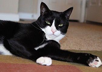 Domestic Shorthair Cat for adoption in Fremont, California - Alf 06-3990