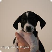 Adopt A Pet :: Elvira - Manassas, VA