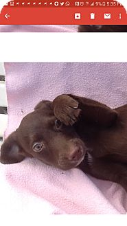 Labrador Retriever Mix Puppy for adoption in Mesa, Arizona - Lila