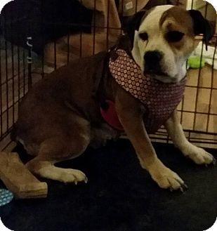 English Bulldog/Beagle Mix Dog for adoption in DAYTON, Ohio - Adel