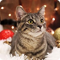 Domestic Shorthair Cat for adoption in Plymouth, Minnesota - Dorothy