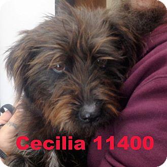 Schnauzer (Standard) Mix Dog for adoption in Alexandria, Virginia - Cecilia