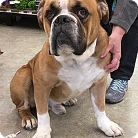English Bulldog Dog for adoption in Pennington, New Jersey - Boss