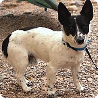Adopt A Pet :: Bull - Casa Grande, AZ
