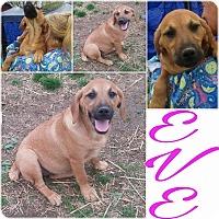 Adopt A Pet :: Eve - Burlington, VT