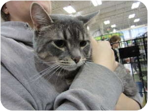 Domestic Shorthair Cat for adoption in Sterling Hgts, Michigan - Joey