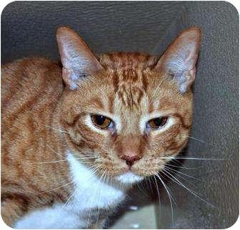 Domestic Shorthair Cat for adoption in Atlanta, Georgia - Morris