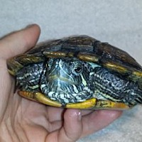 Turtle - Other for adoption in Pefferlaw, Ontario - Rahl