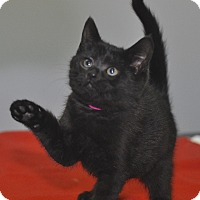 Adopt A Pet :: Goblin - Medina, OH