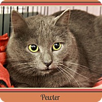 Domestic Shorthair Kitten for adoption in New Richmond,, Wisconsin - Pewter