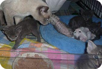 Russian Blue Kitten for adoption in Dallas, Texas - Russian Blue mix kittens