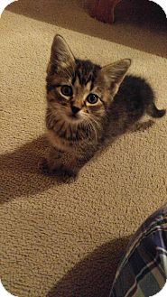 Domestic Shorthair Kitten for adoption in Golsboro, North Carolina - TROUBLE