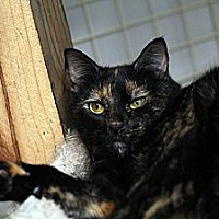 Domestic Shorthair Cat for adoption in St. Louis, Missouri - Rosalita